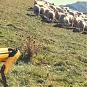 (Video) Boston Dynamics Robot Herd Flock of Sheep in New Zealand