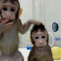 (PDF) Scientists Just Cloned Monkeys. Humans Could Be Next