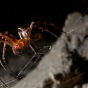Could Spiders Produce The Next Super-Strong Material ?